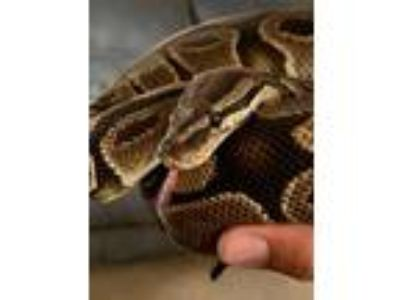 Adopt Felix a Snake reptile, amphibian, and/or fish in Aurora, IL (25798251)