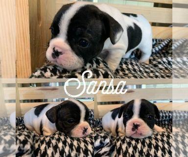 French Bulldog PUPPY FOR SALE ADN-129809 - French bulldog puppies