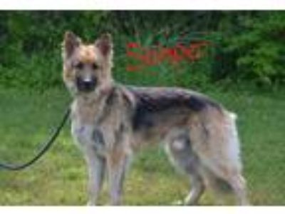 Adopt Semper a Tricolor (Tan/Brown & Black & White) German Shepherd Dog / Mixed