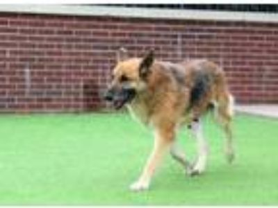 Adopt Olivia a Black German Shepherd Dog / Mixed dog in Farmers Branch