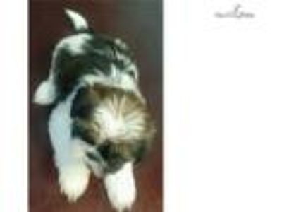 Puppy For Sale Classifieds In El Paso Texas Clazorg