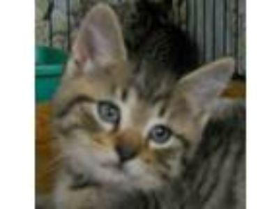 Adopt Fajita a Tabby, Domestic Short Hair