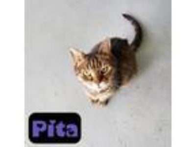 Adopt Pita a Brown Tabby Domestic Shorthair / Mixed (short coat) cat in Troy