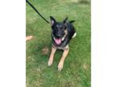 Adopt REX a Black - with Gray or Silver German Shepherd Dog / Mixed dog in