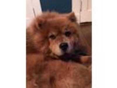 Adopt Penny a Chow Chow