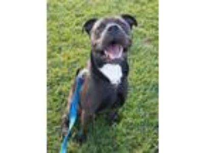 Adopt Maverick a Black Pit Bull Terrier / Mixed dog in Yorkville, NY (19614356)