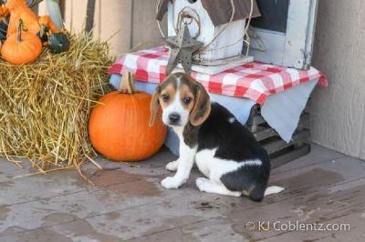 Milo Male Beagle