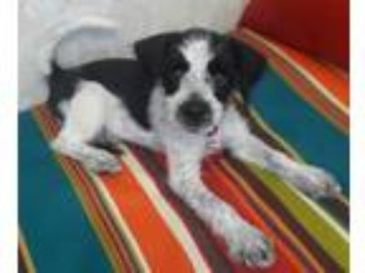 Adopt CRICKET a Wirehaired Terrier