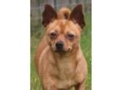 Adopt King Peppe a Pug / Miniature Pinscher / Mixed dog in Quakertown