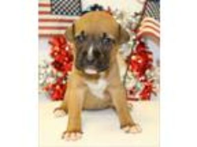 Adopt Liberty a Brown/Chocolate - with Black German Shepherd Dog / Boxer / Mixed