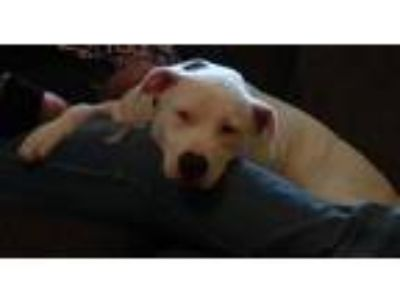 Adopt Penny a White American Staffordshire Terrier dog in Jefferson