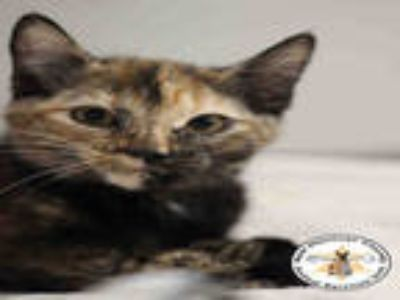 Adopt KITTEN#4 a Tortoiseshell Domestic Shorthair / Mixed (short coat) cat in
