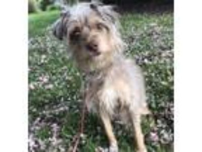 Adopt Pistachio In Foster a Terrier (Unknown Type, Small) / Mixed dog in