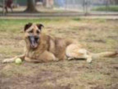Adopt KRYPTO a German Shepherd Dog, Mixed Breed
