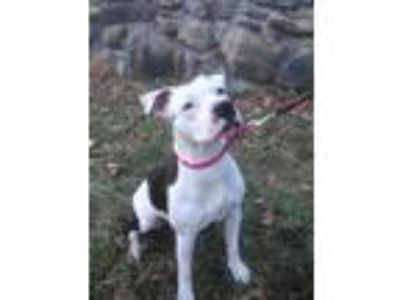 Adopt SASHA a Pit Bull Terrier / Mixed dog in Chicopee, MA (24871471)
