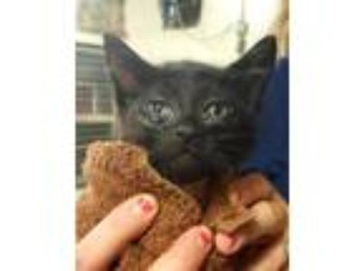 Adopt Drew a All Black Domestic Shorthair / Domestic Shorthair / Mixed cat in