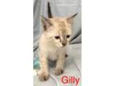 Adopt Gilly a Cream or Ivory Domestic Shorthair / Domestic Shorthair / Mixed cat
