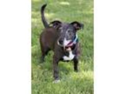 Adopt Iris a Black - with White Labrador Retriever / Basset Hound / Mixed dog in