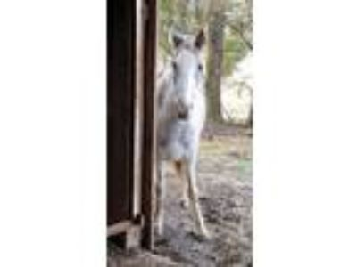 Adopt Estelle a Tennessee Walker