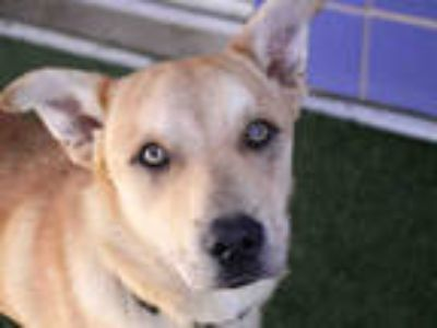 Adopt NICO a Tan/Yellow/Fawn Husky / Labrador Retriever / Mixed dog in Austin
