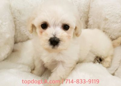 Maltipoo Puppy - Female - Yellow ($1,299)