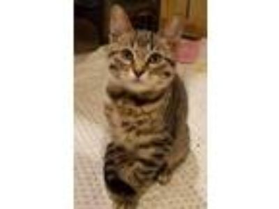 Adopt Rex a Brown or Chocolate Domestic Shorthair / Domestic Shorthair / Mixed