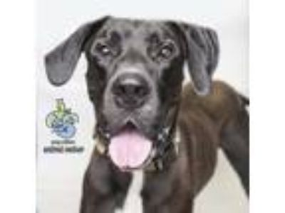 Adopt Tiny a Black Great Dane dog in Knoxville, TN (25508523)