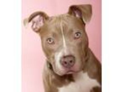 Adopt Dinah a Tan/Yellow/Fawn - with White American Pit Bull Terrier / Mixed dog