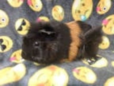 Adopt COCO a Brown or Chocolate Guinea Pig / Mixed small animal in Van Nuys