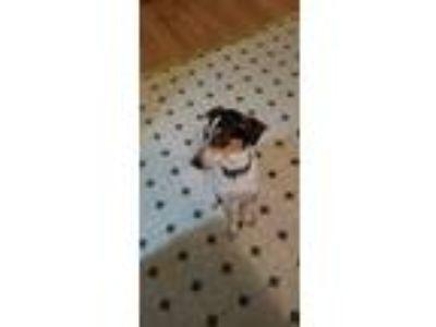 Adopt Haylee a Bluetick Coonhound, Fox Terrier
