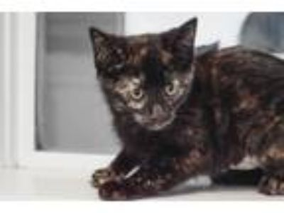 Adopt Poppy a Domestic Short Hair