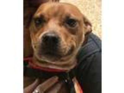 Adopt Bella Bea a Brown/Chocolate American Pit Bull Terrier / Mixed dog in