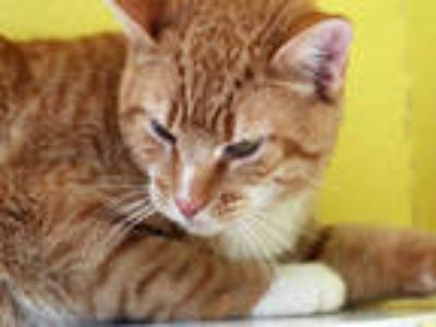 Adopt IAN a Orange or Red Tabby Domestic Shorthair / Mixed (short coat) cat in