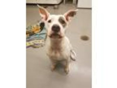 Adopt Katie a Pit Bull Terrier