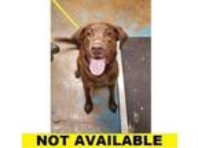 Adopt Hansel a Brown/Chocolate Labrador Retriever / Mixed dog in Eugene