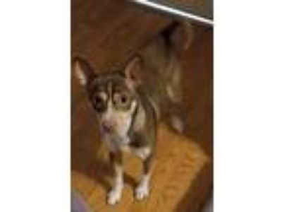 Adopt Franklin a Brown/Chocolate - with White Rat Terrier dog in Manhattan