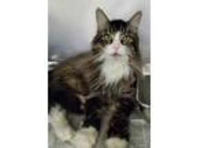 Adopt DLH Male cat a Domestic Shorthair / Mixed (short coat) cat in Angola