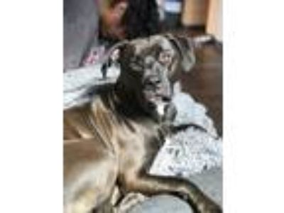 Adopt Luna a Black - with White American Pit Bull Terrier / Labrador Retriever /