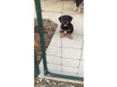 Adopt Be Be s puppy 6 male a Basset Hound, Rottweiler