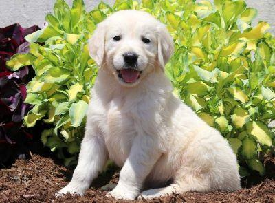 Golden Retriever PUPPY FOR SALE ADN-79211 - English Cream Golden Retriever Puppy