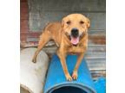 Adopt Rusty a Red/Golden/Orange/Chestnut Labrador Retriever / Mixed Breed
