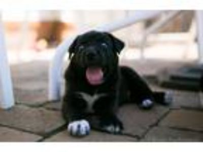 Adopt Poetry Puppy: Robert Frost a Black - with White Mixed Breed (Medium) dog