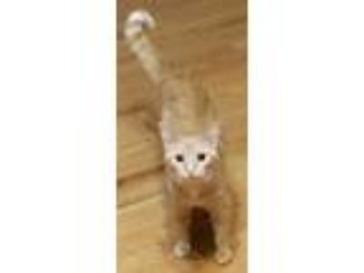 Adopt Loofy a Orange or Red Domestic Shorthair / Domestic Shorthair / Mixed cat