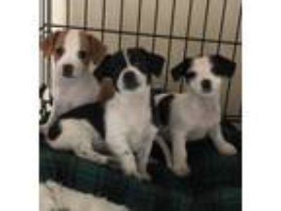 Adopt DAINTY DARLINGS 3 a Black - with White Shih Tzu / Dachshund / Mixed dog in