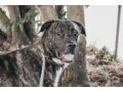 Adopt Rocky a Pit Bull Terrier, Boxer