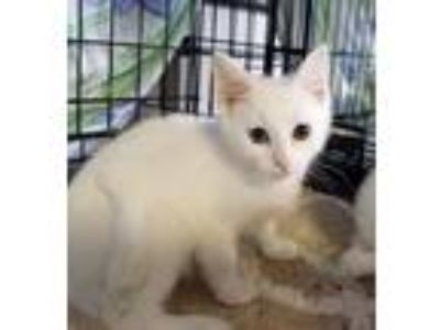 Adopt Mario a White Domestic Shorthair (short coat) cat in Jeannette