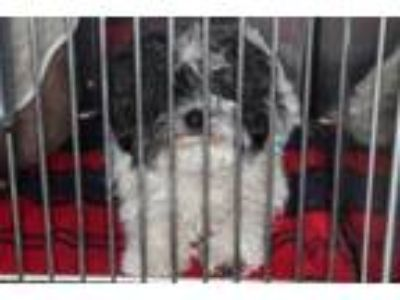 Adopt Osito a Poodle, Mixed Breed