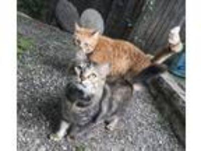 Adopt Julia a Brown Tabby Domestic Mediumhair cat in Bellevue, WA (25023705)