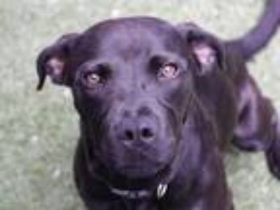 Adopt *BAMBI a Black Labrador Retriever / Mixed dog in Austin, TX (25347280)