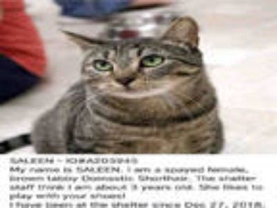 Adopt SALEEN a Brown Tabby Domestic Shorthair / Mixed (short coat) cat in Fort